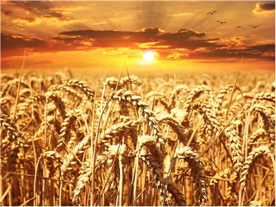 Picture Of Wheat Cereals Grain Field
