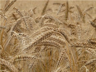 Picture Of Wheat Field Cereals